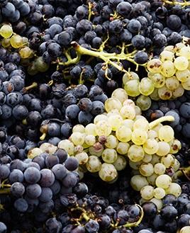 Pinot Gris/Pinot Grigio