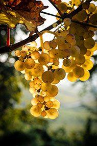 Blind Tasting: Riesling, Sauvignon Blanc & Chardonnay, 9 November 2016